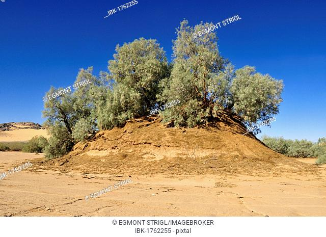 Tamarisk tree (Tamarix) growing on a sandhill in a wadi of Erg Tihodaine, Wilaya Tamanrasset, Algeria, Sahara, North Africa, Africa