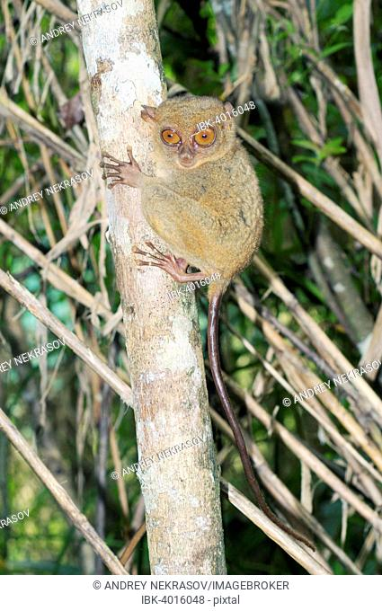 Philippine Tarsier (Carlito syrichta), Bohol Island, Southeast Asia, Philippines