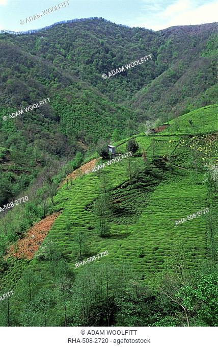 Tea plantation in the hills near Trabzon in Anatolia, Turkey, Asia Minor, Eurasia