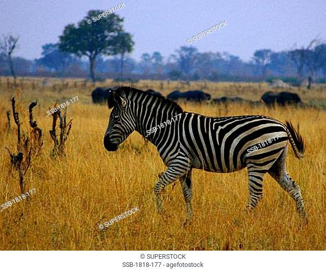 Zebra grazing in a field, Okavango Delta, Botswana