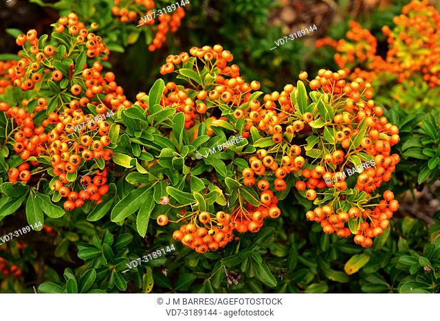 Firethorn (Pyracantha coccinea) is a perennial shrub native to south Europe and western Asia. This photo was taken in Emporda, Girona province, Catalonia, Spain