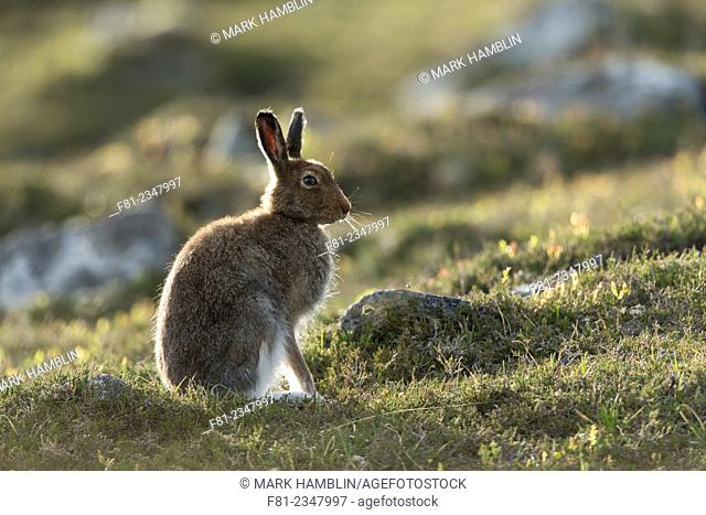 Mountain Hare (Lepus timidus) adult in spring coat on moorland