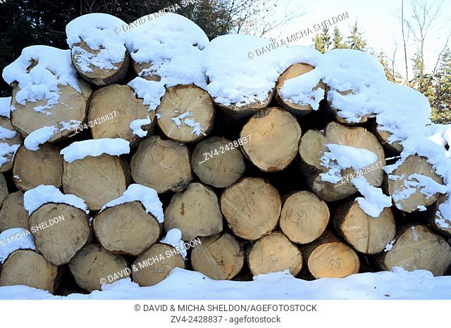 Landscape of cut down trees in a Norway spruce (Picea abies) forest on a sunny day in winter
