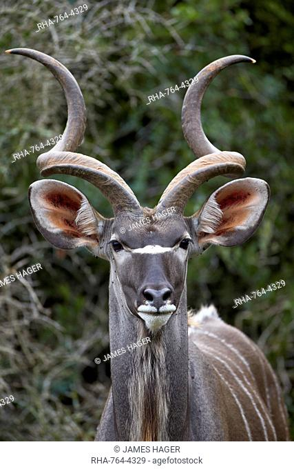 Greater kudu (Tragelaphus strepsiceros) buck, Addo Elephant National Park, South Africa, Africa