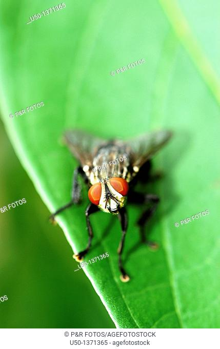 Fly on leaf, Diptera, 2008