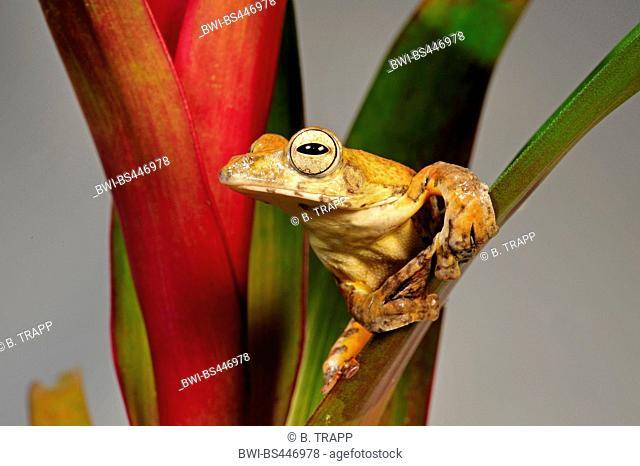 spinybottom tree frog, Tramlap flying tree frog (Rhacophorus exechopygus), sitting on a bromeliad, cut out, Vietnam