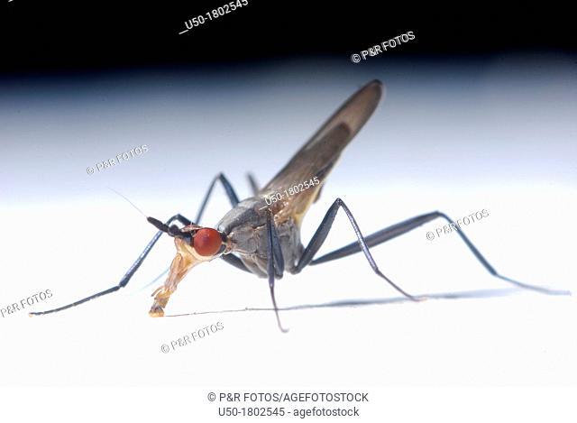 Male of long-legged fly , Dolichopodidae, Diptera  2012