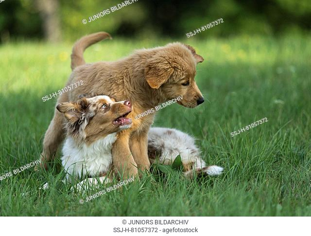 Australian Shepherd puppy and Golden Retriever puppy playing on a lawn. Germany