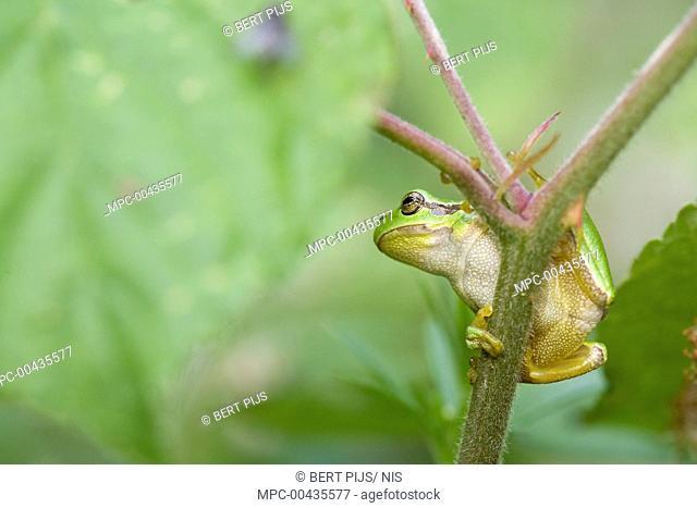 European Tree Frog (Hyla arborea) on Shrubby Blackberry (Rubus fruticosus), Limburg, Netherlands