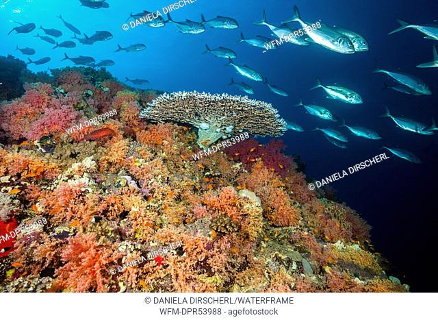 Colored Soft Coral Reef, Shaab Rumi, Red Sea, Sudan