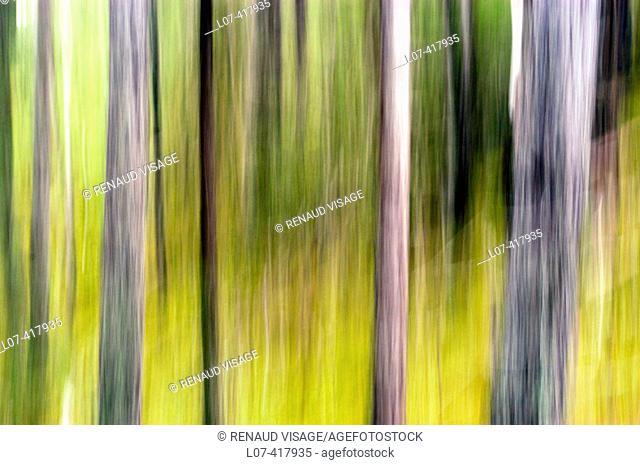 Trees. Skagway. Alaska. United States