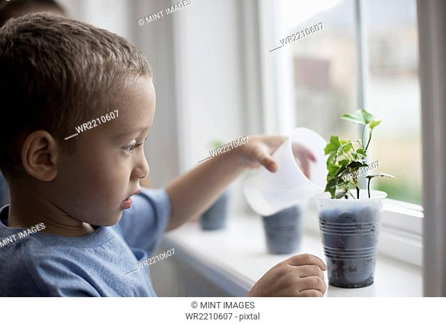 A young boy looking at young plants in pots growing on a windowsill