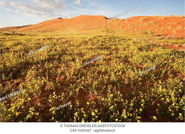 Namibia - Carpets of Devil's Thorn Tribulus zeyheri and sand dunes during the rainy season March in the Namib Desert  NamibRand Nature Reserve, Namibia