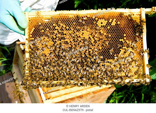 Cropped view of beekeeper checking bee hive