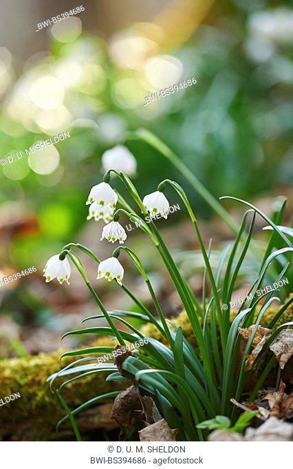 spring snowflake (Leucojum vernum), flowering, Germany, Bavaria, Oberpfalz