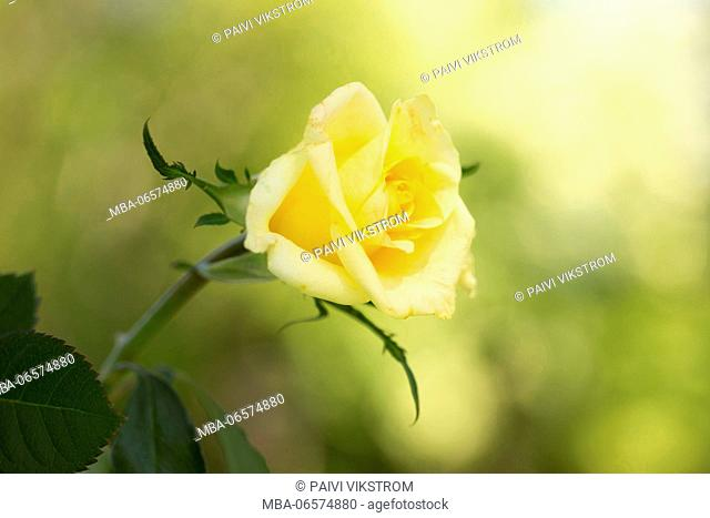 Yellow rose on a green background, outdoors in the garden