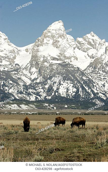 Adult American Bison (Bison bison) in Jackson Hole, at the base of the Teton Mountain Range, Wyoming