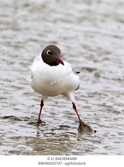 black-headed gull (Larus ridibundus, Chroicocephalus ridibundus), black-headed gull in the wadden sea, Germany, Schleswig-Holstein, Northern Frisia