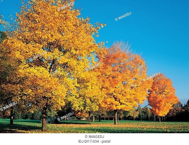 Trees and yellow leaves