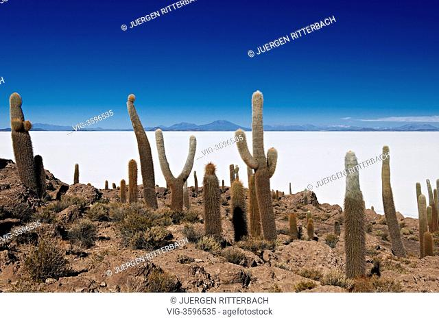 BOLIVIA, UYUNI, 24.09.2011, gigantic cacti, Trichocereus pasacana, on Incahuasi Island , often wrong named Isla del Pescado, Salar de Uyuni