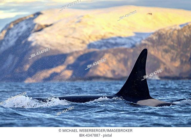 Orca (Orcinus orca), fin in front of snow-covered mountains, the North Atlantic, in Tromvik, Norway