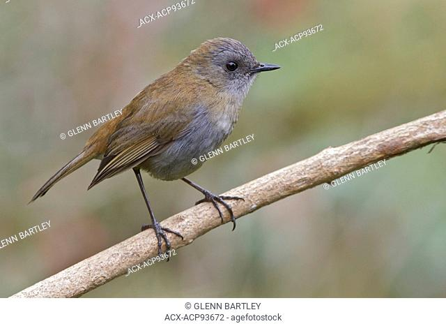 Black-billed Nightingale Thrush (Catharus gracilirostris) perched on a branch in Costa Rica