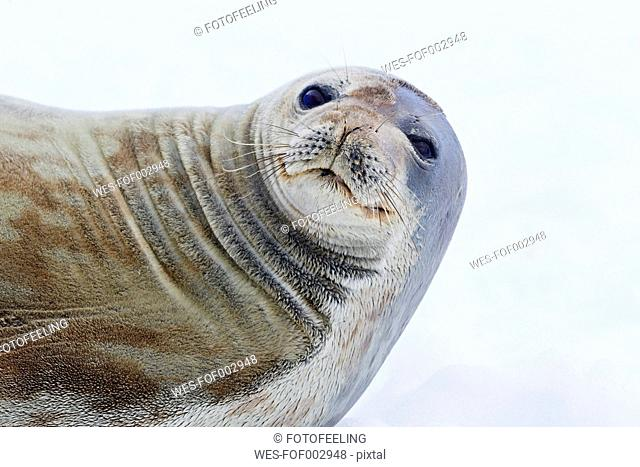 South Atlantic Ocean, Antarctica, Antarctic Peninsula, Gerlache Strait, Neko Harbour, Weddell seal, close up