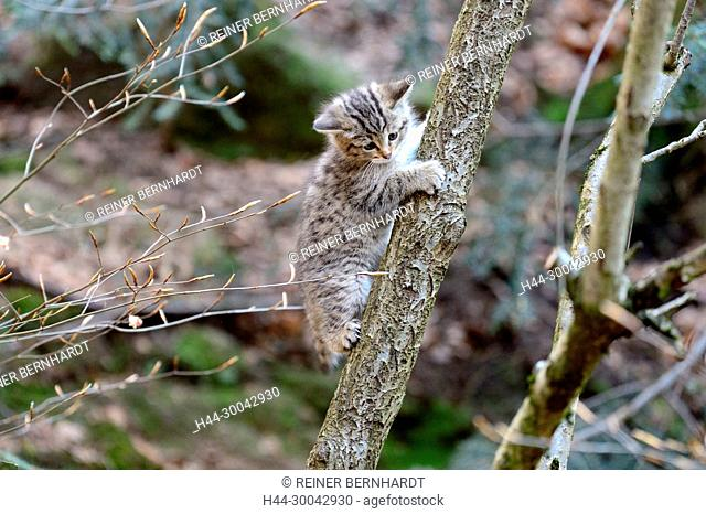 Local animals, Endemically, Felis silvestris, young wildcats, cat, cats, small cats, predator, predators, predatory game, animals, W, game, wild cats, wildcat