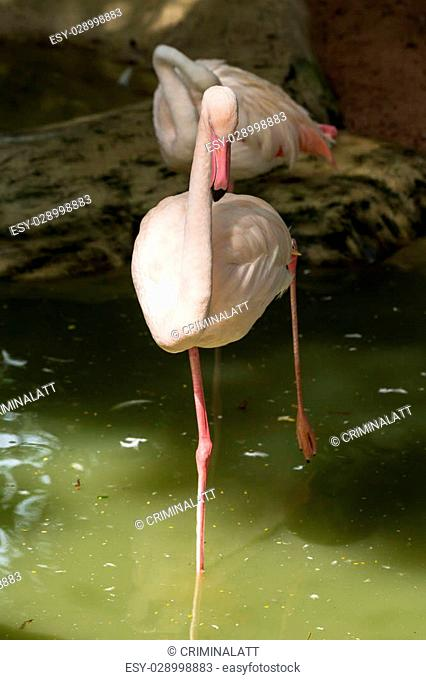 White flamingo standing on one leg in water