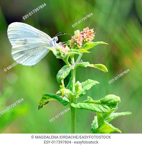 Pieris brassicae, Cabbage butterfly on a flower
