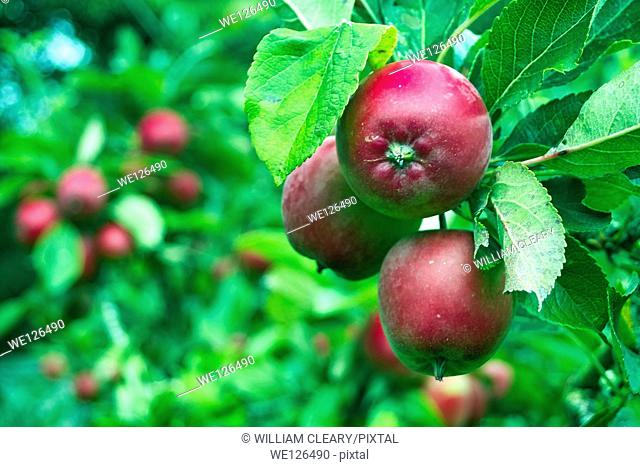 Apple tree laden with apples in a small garden orchard, County Westmeath, Ireland