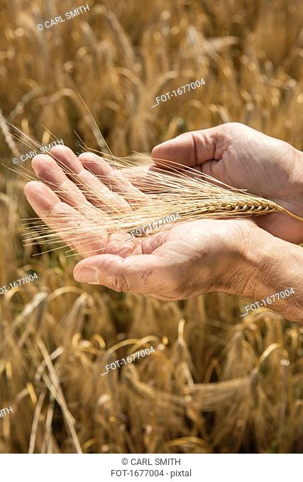 Cropped image of man's hands holding wheat ear at farm