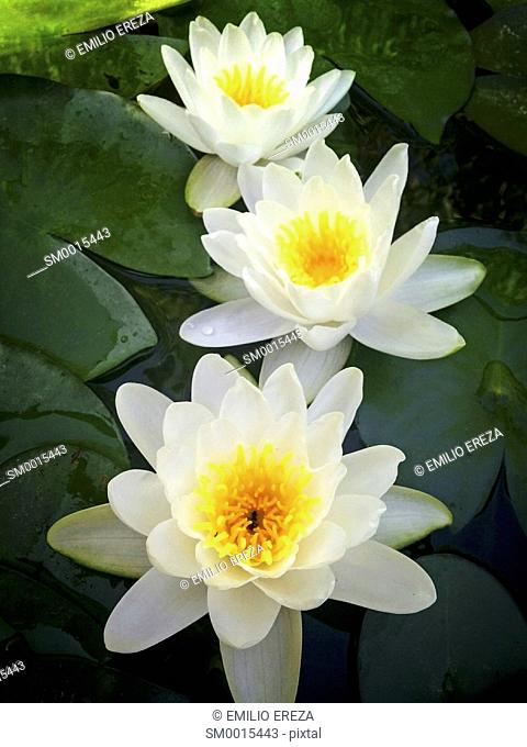 Water lily. Nymphaea alba
