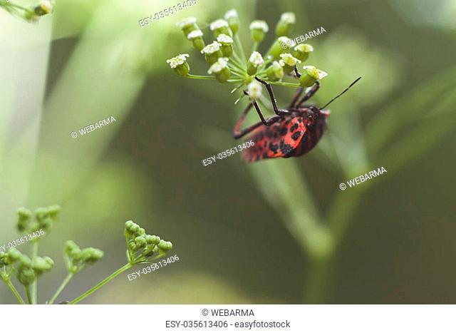 Striped-Bug on top of fennel flowers - Graphosoma lineatum - Foeniculum vulgare