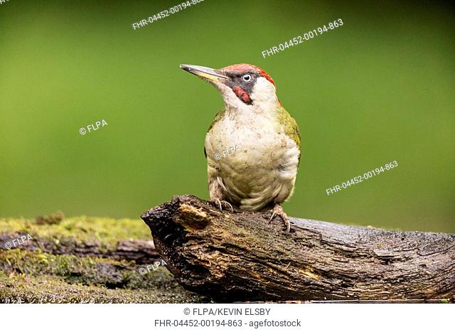 European Green Woodpecker (Picus viridis) adult male, standing on log at pool in woodland, Hungary, April