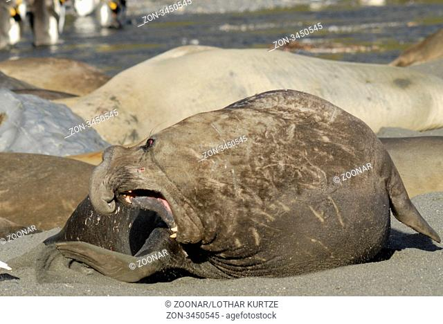 An agressive male elephant seal Mirounga leonina in front of a colony, Gold Harbour, South Georgia