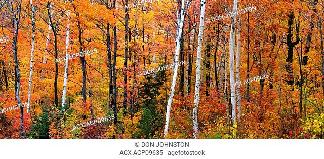 Autumn colours in hardwood forest, Point au Baril, Ontario, Canada