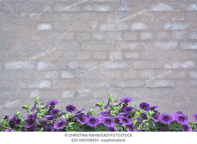 Purple petunias on grey washed brick wall background texture for copy