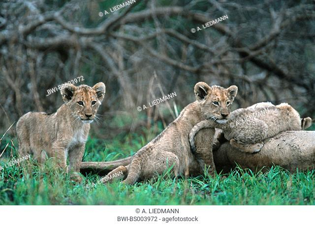 lion (Panthera leo), three cubs near mother, South Africa