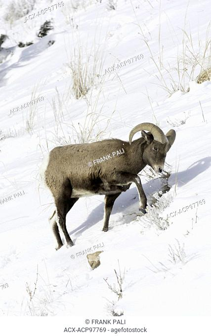 Bighorn Sheep (Ovis canadensis) Males. Wildlife of Yellowstone Park at Lamar Valley Mammoth Falls , Wyoming USA on December 30, 2015