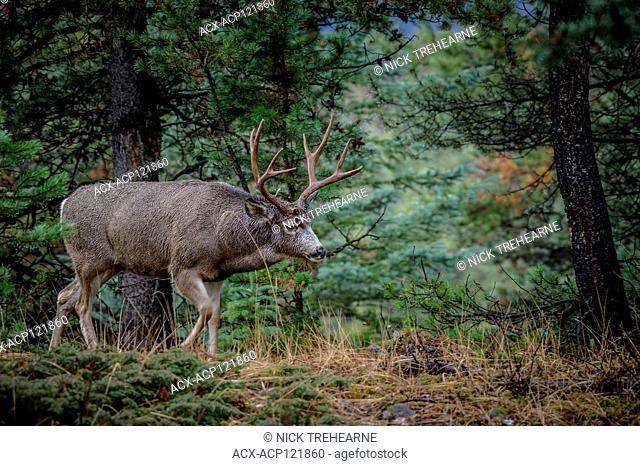 Odocoileus hemionus - Mule Deer, Jasper National Park, Alberta, Canada