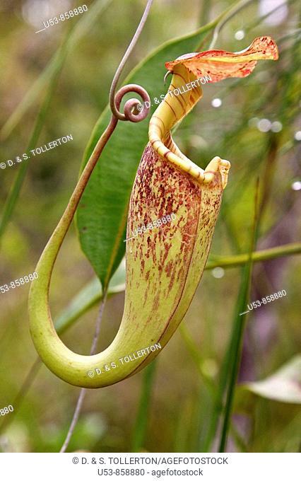 Pitcher Plant, Nepenthes rafflesiana, aerial pitcher, Bako, Sarawak, Borneo, Malaysia