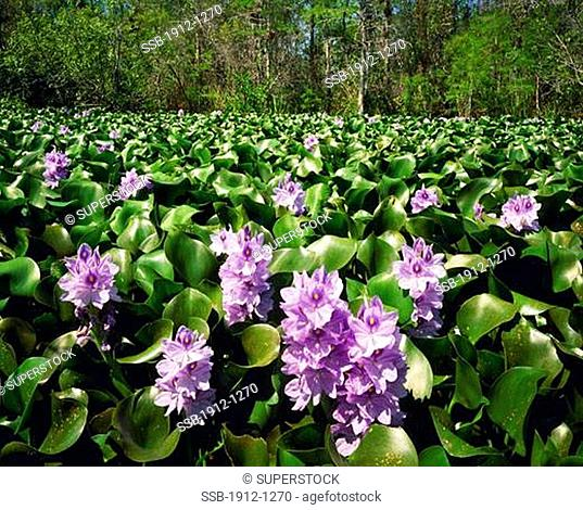 Water Hyacinth Blooms in Spring Big Cypress National Preserve near Everglades National Park Florida