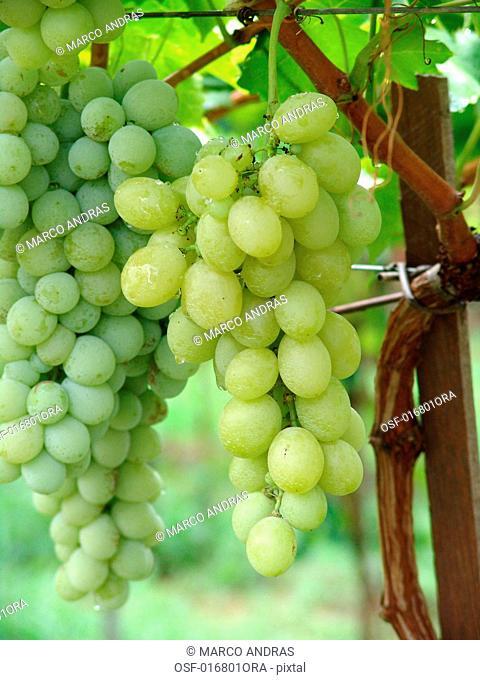 wineyards grape