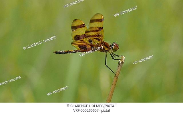 A male Halloween Pennant (Celithemis eponina) dragonfly perches on the end of a weed while riding the wind and foraging away from water