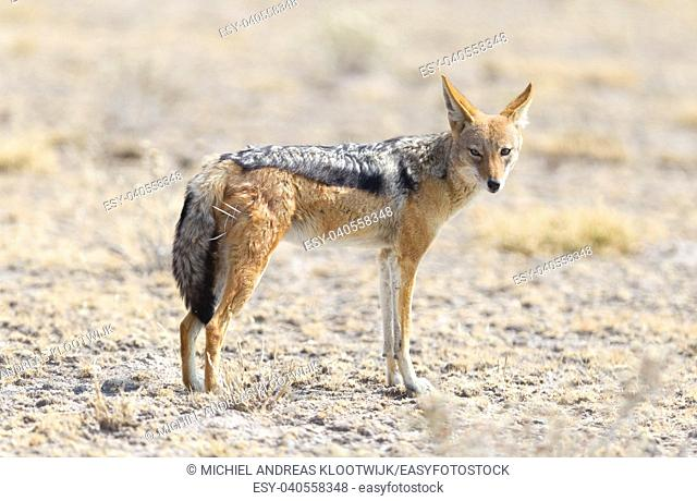 Black backed jackal (Canis mesomelas) walking in the Kalahari, Botswana
