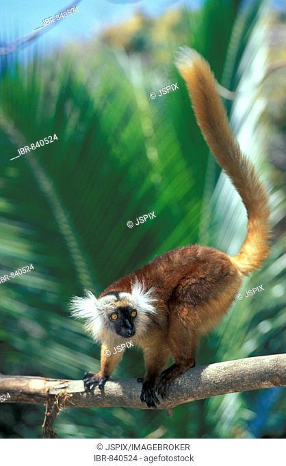Black Lemur (Eulemur macaco), adult female in a tree, Nosy Komba, Madagascar, Africa