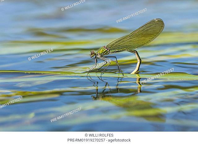Banded demoiselle, Calopteryx splendens, oviposition / Gebänderte Prachtlibelle, Calopteryx splendens, Eiablage