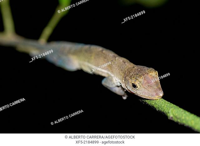Anolis, Tropical Rainforest, Corcovado National Park, Osa Conservation Area, Osa Peninsula, Costa Rica, Central America, America