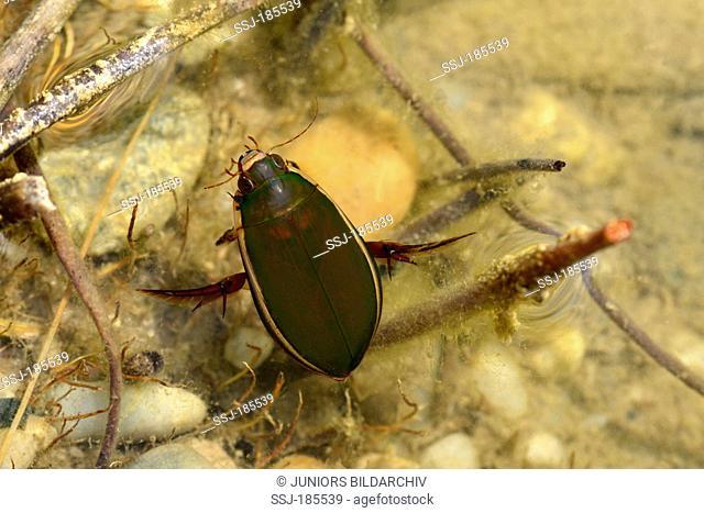 Great Diving Beetle (Dytiscus marginalis), beetle swimming under water. Germany